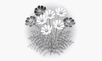 イラスト 【秋/花】 コスモス(モノクロ白黒)