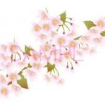 きれいな桜の枝