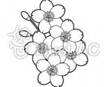 桜の花白黒