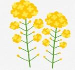 かわいい菜の花のイラスト