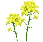 菜の花のイラスト AIは有料