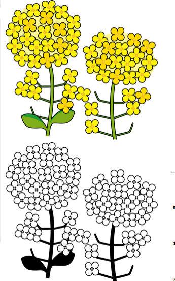 菜の花カラーイラストと白黒イラストの2種類