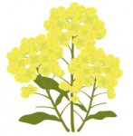 クリップアート 「菜の花」 JPG4は無料