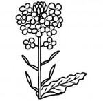 菜の花の白黒イラスト