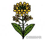 「菜の花」の無料イラスト