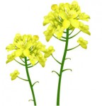 リアルな菜の花のイラスト