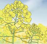 青空と菜の花畑背景イラスト無料