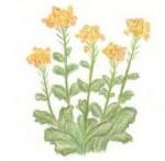 色鉛筆で書かれた菜の花イラスト