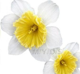 (水仙の花)スイセンの花のイラスト・条件付フリー素材集