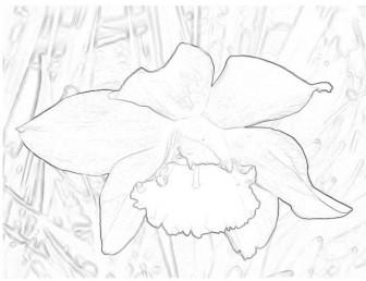 水仙のイラスト : 大人のぬりえ 無料ダウンロード