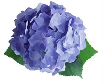 リアルタッチな花のイラスト・フリー素材/No.493『あじさい・青・緑葉』