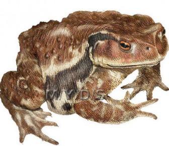 (蟇蛙)ヒキガエル/カエルのイラスト・条件付フリー素材集