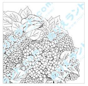【紫陽花(アジサイ)】 | ぬりえランド.com 塗り絵無料ダウンロード