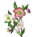 クリスマスローズの花束のイラストをダウンロード   イラスト無料【DDBANK】