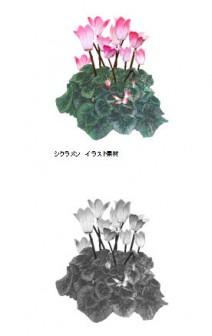 シクラメン 冬のイラスト素材 無料テンプレート
