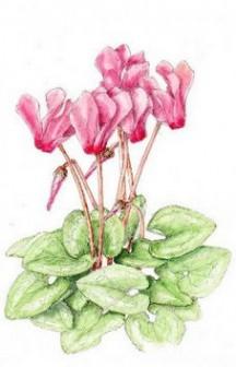 シクラメンの花(イラスト) - 花を描いたポストカード