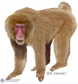動物リアルイラスト | オナガザル科マカク属とサルとニホンザルと哺乳綱サル目と霊長目のイラスト | イラストレーター検索 illustrator e-space